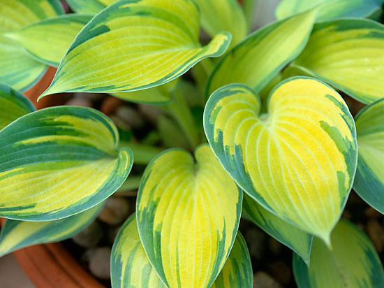 Suzie gibbons portfolio details hosta june - Practical tips for gardening in june ...